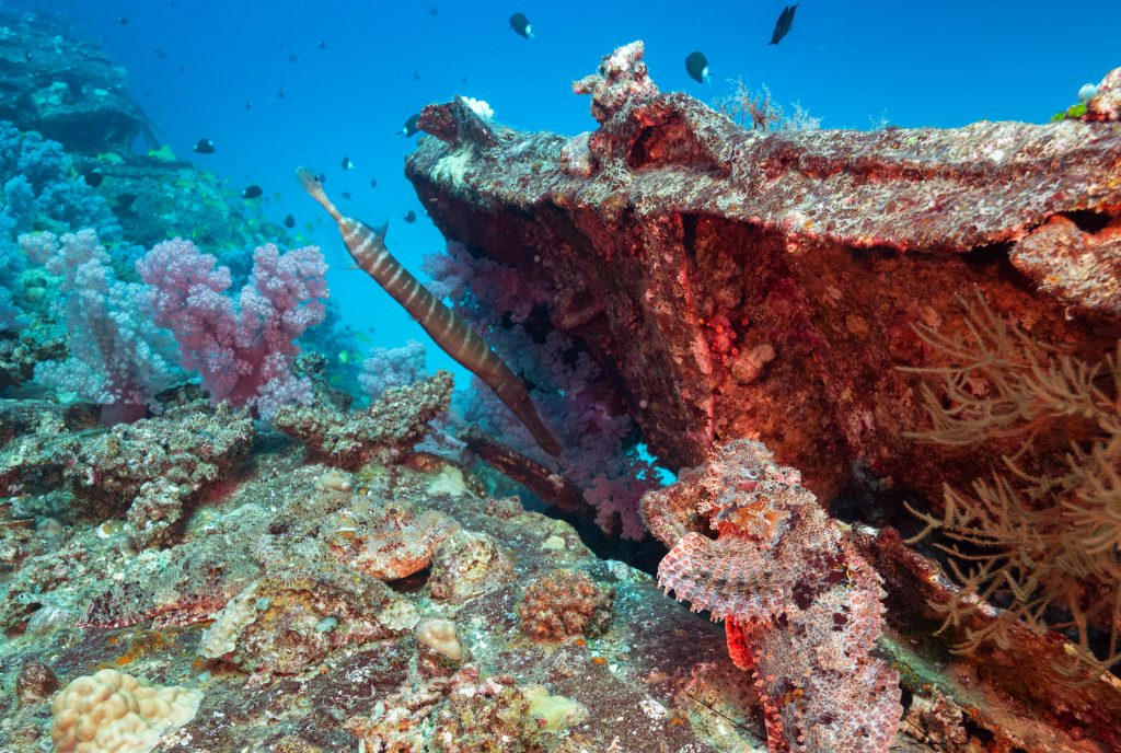 A cleverly-disguised scorpion fish hides in plain sight (bottom right) among coral growing on a scuttled ship that now serves as an artificial reef near Gunner's Quoin, Mauritius. Photo by Isaac D. Pacheco