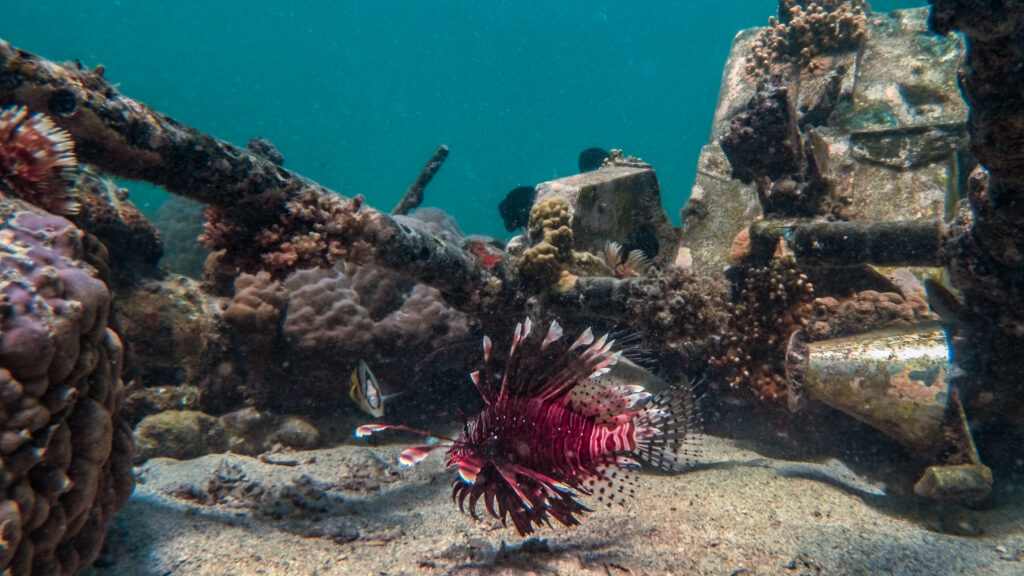 A red lionfish cruises through a B-25D crash site in the shallow water west of Port Moresby. The aircraft was participating in low altitude skip-bombing practice, July 27, 1943, when one of the bombs bounced too high and took out the rear stabilizer. The plane crashed on the reef, killing all five crew members. Photo by Larry V. Dumlao